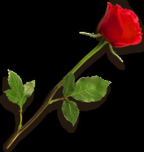 HD rose png