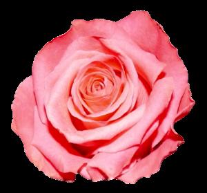 pink rose png