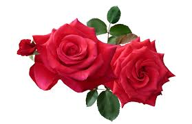 Rose flowers png