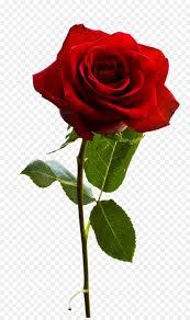 rose with leaf